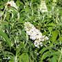 syrenbuddleja-white-profusion-3-35-l-co-3
