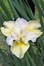 iris-yellowtail-1st-barrotad-2