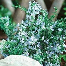 vinterhrdig-rosmarin-blue-winter-105cm-kruka-1