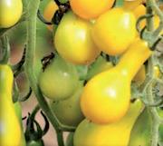 prontomat-yellow-pear-9cm-kruka-1