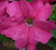 petunia-limbo-rose-9cm-kruka-1