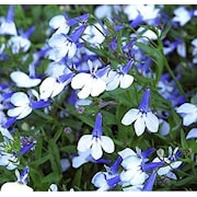 kantlobelia-riviera-blue-splash-105cm-kruka-1