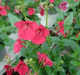 tvillingsporre-rosa-105cm-kruka-1