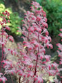 fingerrodgersia-candy-clouds-3st-barrotad-3