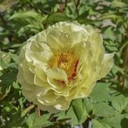 luktpion-itoh-garden-treasure-1st-barrotad-1