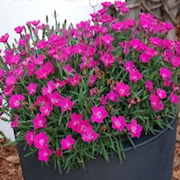 nejlika-waikiki-pink-12cm-kruka-1