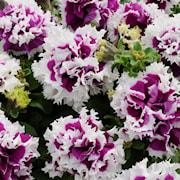petunia-pirouette-purple---3-plantor-1
