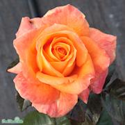 tehybridros-flora-danica-poulrimpbr-c4-1