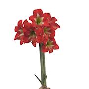 afrikansk-amaryllis-bright-sparkler-1st-1