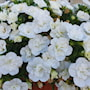 minipetunia-can-can-rosies-white-impr-105cm-k-1