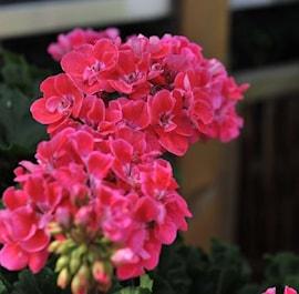 zonalpelargon-candy-idols-pink-parfait-105cm-1