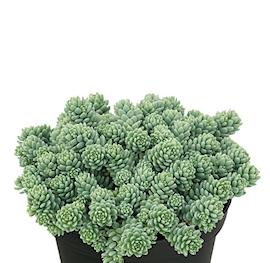 sedum-silver-roses-12cm-kruka-1