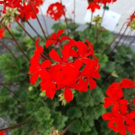 zonalpelargon-special-red-bern-105cm-kruka-1