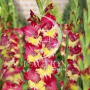 gladiolus-stereo-7st-1