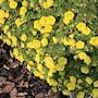 minipetunia-can-can-rosies-yellow-105cm-kruka-1