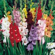 gladiolus-blandade-25st-1