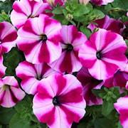 petunia-surprise-burgundy-star---3-plantor-1