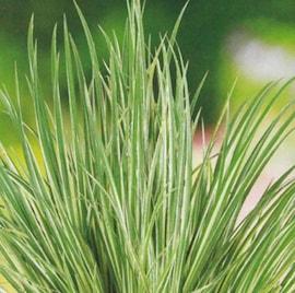 grskalmus-variegatus-12cm-kruka-1