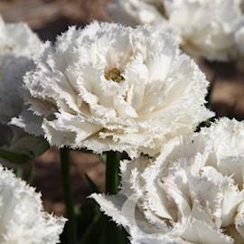 franstulpan-snow-crystal-5st-1