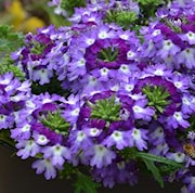trdgrdsverbena-vepita-violet-kiss-105cm-kruka-1