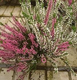 ljung-garden-girls-twin-105cm-kruka-1