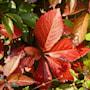 klttervildvin-quinquefolia-c15-c2-2
