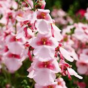 tvillingsporre-appleblossom-105cm-kruka-1