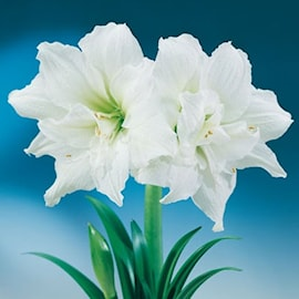 amaryllis-ice-queen-1st-1