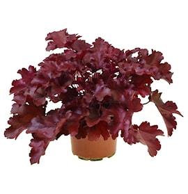 alunrot-cherry-truffles-12cm-kruka-1