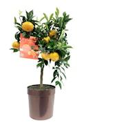 mandarin-stam-h70-80cm-20cm-kruka-1