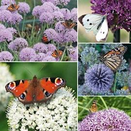 alliumkollektion-butterfly-storpack-50st-1