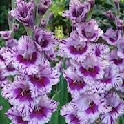 gladiolus-passos-7st-1