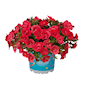 minipetunia-superbells-double-ruby---3-planto-2