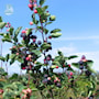 brhggmispel-alnifolia-barrotad-10-p-30-50cm-4