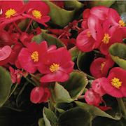 sommarbegonia-juwel-scarlet-105cm-kruka-1