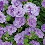 minipetunia-can-can-rosies-sky-blue-105cm-kru-2