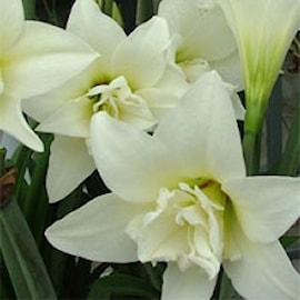 amaryllis-white-amadeus-1st-1
