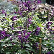 salvia-rockin-deep-purple-105cm-kruka-1