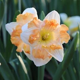 stjrnnarciss-love-callapricot-whirl-mix-5st-1