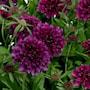 praktvdd-gelato-blueberry---3-plantor-1