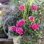 zonalpelargon-tango-deep-rose-with-eye-12cm-k-2