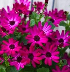 cineraria-senetti-pink-105cm-kruka-1