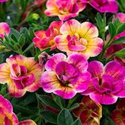 minipetunia-chameleon-double-pink-yellow-105c-1