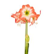 afrikansk-amaryllis-daiquiri-1