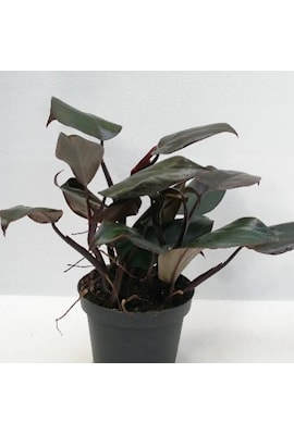 philodendron-new-red-13cm-kruka-1