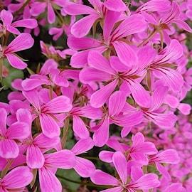 hngpelargon-balcon-lilac-3-st-1