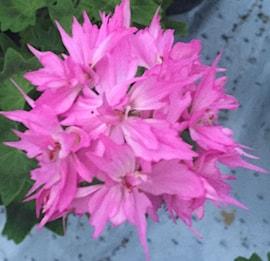 stjrnpelargon-pink-joann-hodgson-1