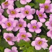 snflinga-suteranova-everest-pink---3-plantor-1