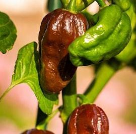 chili-hot-habanero-chocolate-105cm-kruka-1