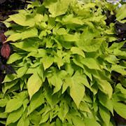 batata-sweet-caroline-light-green---3-plantor-1